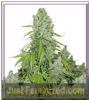 Dutch Passion Auto The ultimate Female 7 Seeds